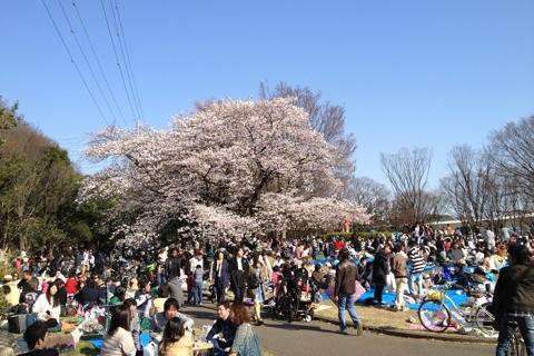 20120408sakura.JPG